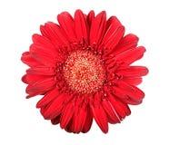 Één rode bloem Royalty-vrije Stock Afbeelding