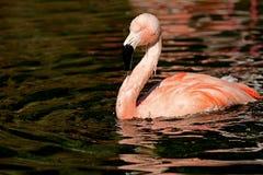 Één rode Flamingo Royalty-vrije Stock Fotografie
