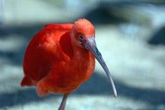 één rode Ibis Royalty-vrije Stock Foto's