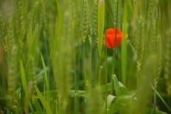 Één rode papaverbloem op achtergrond van groene weide stock afbeelding