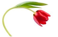 Één rode tulp die op wit wordt geïsoleerdo Royalty-vrije Stock Afbeelding