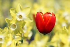 Één rode tulp in geel licht van narcissenbloemen Stock Afbeeldingen
