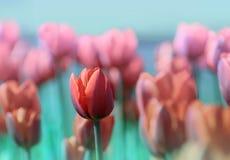 Één Rode Tulp onder vele anderen die op een gebied groeien Royalty-vrije Stock Afbeeldingen