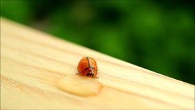 Één rood druppeltje van het lieveheersbeestje drinkwater op de tuinlijst stock footage