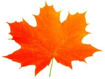 Één rood esdoorn-blad isoleert Stock Afbeelding