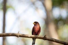 Één rood-gekleurde vogel, de paradijs-Vliegenvanger van Madagascar, Terpsiphone-mutata, reserves Tsingy, Ankarana, Madagascar Stock Foto