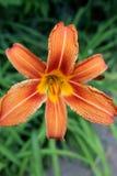 Één rood Lilium-close-up royalty-vrije stock foto's