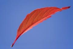 Één rood vliegend blad Stock Foto