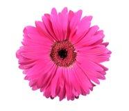 Één roze bloem die op witte achtergrond wordt geïsoleerdn Royalty-vrije Stock Afbeelding