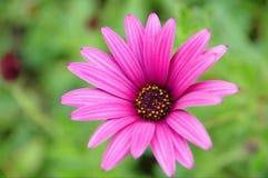 Één roze bloem op groene achtergrond Royalty-vrije Stock Foto's
