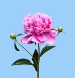 Één roze pioen Stock Foto's