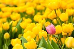Één roze tulp die van vele gele degenen duidelijk uitkomen Het concept van de individualiteit royalty-vrije stock fotografie