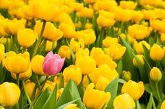 Één roze tulp die van vele gele degenen duidelijk uitkomen Het concept van de individualiteit royalty-vrije stock foto's