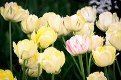 Één roze Tulp onder gele degenen stock foto