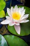 Één Roze Water Lily Blossomed in een meer, met Mooie Bloemblaadjes royalty-vrije stock foto