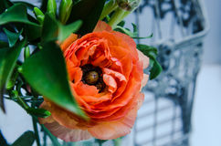Één schoonheid, de boterbloemenranunculus van de de lente oranje, Perzische bloem macro Rustieke stijl, stilleven Kleurrijke vaka Stock Foto