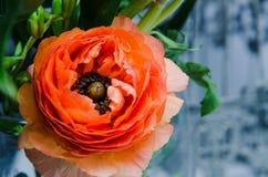 Één schoonheid, de boterbloemenranunculus van de de lente oranje, Perzische bloem macro Rustieke stijl, stilleven Kleurrijke vaka Royalty-vrije Stock Foto's