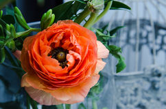 Één schoonheid, de boterbloemenranunculus van de de lente oranje, Perzische bloem macro Rustieke stijl, stilleven Kleurrijke vaka Royalty-vrije Stock Foto
