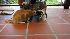 Één schotel voor twee katten bij belmonthuis, bequia stock footage