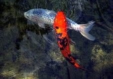 Één Sinaasappel en Één Wit Koi Fish Stock Foto