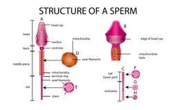 Één sperma is menselijk sperma In de witte rug stock illustratie