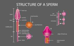 Één sperma is menselijk sperma In de witte rug royalty-vrije illustratie