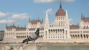 Één stadsduif zit op kade van de rivier van Donau in Boedapest, Hongaars Parlementsgebouw stock video