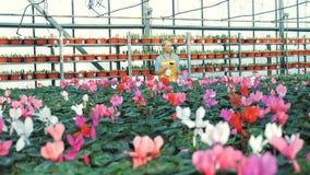 Één tuinman bespuit cyclamens in potten terwijl het werken in een serre stock footage
