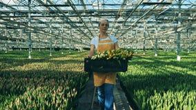 Één tuinman houdt een mandhoogtepunt van tulpen terwijl het lopen in een serre stock video