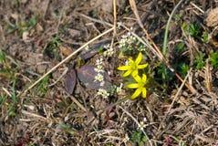 Één van de eerste wilde de lentebloem in de Oekraïne Royalty-vrije Stock Foto's