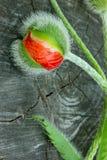 Één van een Knop van een papaver op houten achtergrond Stock Afbeelding