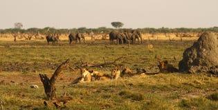 Één van Grote Troep leeuwen Vijf Stock Fotografie