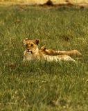 Één van Grote Vijf Lion Pride Stock Afbeelding