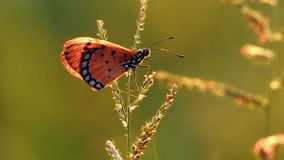 Één van vlinderzitting op wildflower in de windvideo stock footage