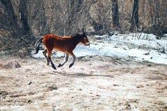 Één vrij jong die paard op de lentegebied in werking wordt gesteld, rood paard stock afbeelding