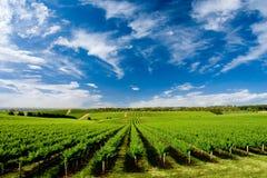 Één Wijngaard van de Heuvel van de Boom Stock Fotografie