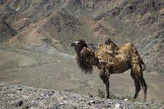 Één Wilde kameel in Kyrgyzstan Stock Fotografie
