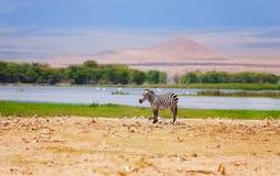 Één wilde zebra in een Afrikaans alluviaal gebied Royalty-vrije Stock Foto's