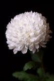 Één witte chrysant op de zwarte achtergrond Stock Afbeeldingen