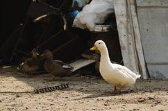 Één witte eend en twee bruine degenen in de binnenplaats in het dorp stock afbeelding