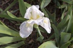 Één Witte Iris met Gele Baard misschien Frequente Vlieger Stock Afbeelding
