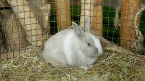 Één witte konijnzitting in een hooi in een paddock stock videobeelden