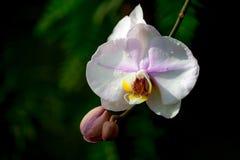 Één witte orchideebloem met een roze tint en een gele kern, op een bloem een daling van water, stock foto's