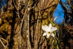 Één Witte Phalaenopsis-orchidee van de orchideeën van Thailand Stock Foto's