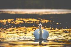 Één witte stodde zwaan in meer stock afbeeldingen