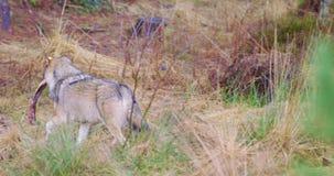 Één wolf die met een vleesbeen lopen in de mond stock videobeelden
