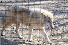 Één wolf die prooi in dierentuin eet Royalty-vrije Stock Foto's