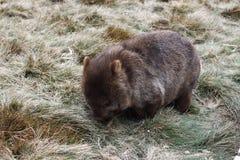 Één wombat stock afbeeldingen