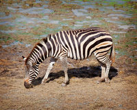 Één zebra Royalty-vrije Stock Afbeeldingen