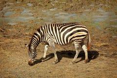 Één zebra Royalty-vrije Stock Afbeelding